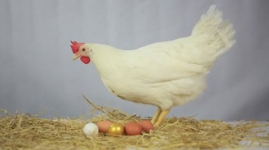 Hen with gold egg — Stock Video