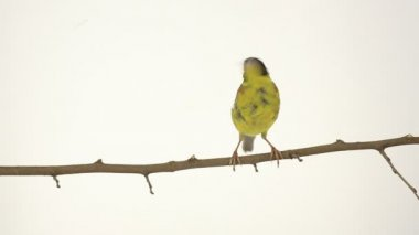 Black-headed Bunting on branch — Stock Video