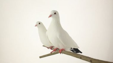 Two white pigeons sitting on a branch — Stock Video