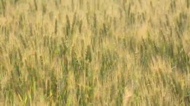 Wheat ears in field — Stock Video