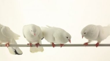 White doves on the branch — Stockvideo