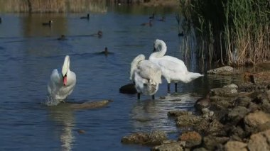 Swans and ducks swimming in the water — Wideo stockowe
