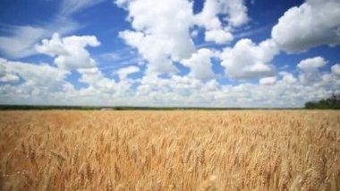 Wheat ears in field — Stock Video