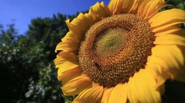 Bees feeding on a sunflower. — Stock Video