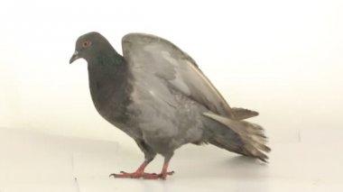 Grey dove on white — Stock Video