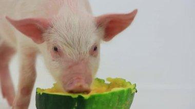 カボチャを食べて少し豚 — ストックビデオ