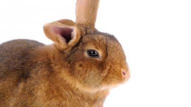 Cute brown rabbit eating — Wideo stockowe