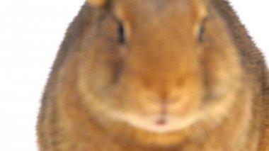 Cute brown rabbit eating — Stock Video