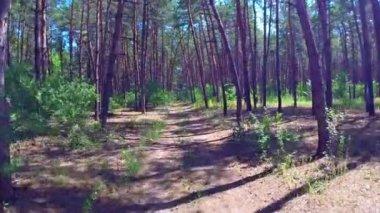 Aerial pine wood — Stock Video
