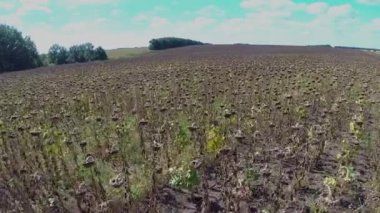 Field sunflower with natural sound — Stock Video