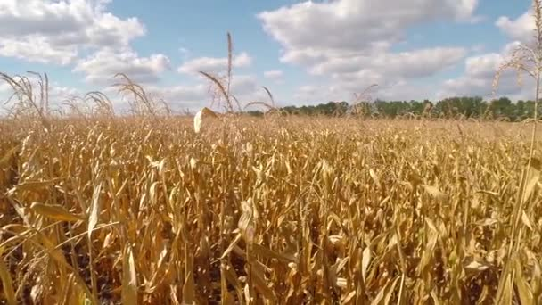 View of a yellow wheat field — Vidéo
