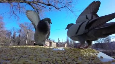 Pigeons fight for grain — Stock Video