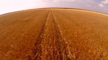 Flight over wheat field — Stock Video