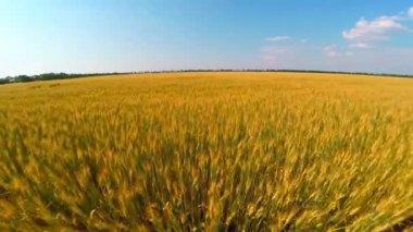 Voo sobre campo de trigo — Vídeo stock