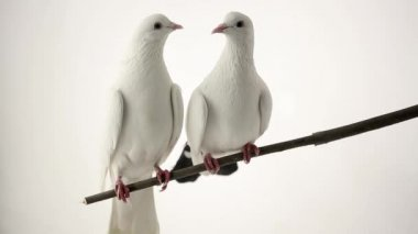 Two white pigeons — Stock Video