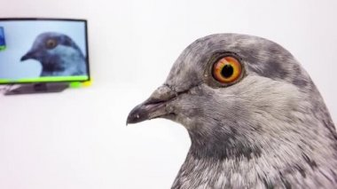 Grey pigeon looking at monitor — Stock Video