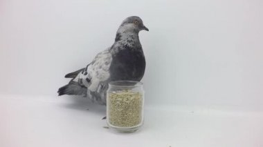 Pigeon pecks grain — Stock Video