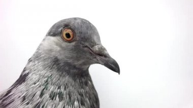Grey pigeon isolated on white — Stock Video