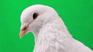 White pigeon on green — Stock Video