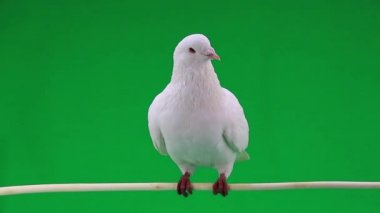 Beautiful white pigeon — Stock Video