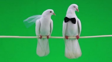 Wedding pigeons with bowtie   and veil — Stock Video
