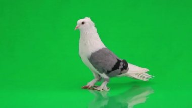 White pigeon with gray wings — Stock Video