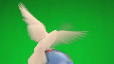 White pigeon on globe — Stock Video