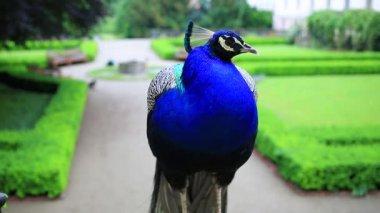 Beautiful blue peacock — Stock Video