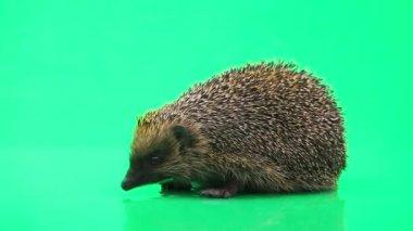 Cute prickly hedgehog — Stock Video