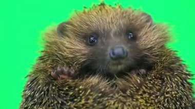 Cute prickly hedgehog  portrait — Stock Video