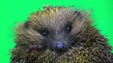 Cute prickly hedgehog  portrait — Stock Video