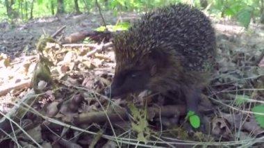 Hedgehog op groen gras — Stockvideo