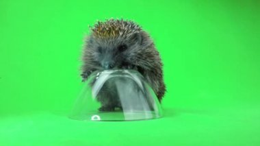 Hedgehog with inverted plate — Stock Video