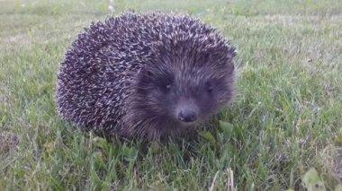 Hedgehog on green grass — Stock Video