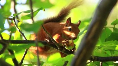 Squirrel eating on branch — Stock Video