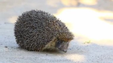 Hedgehog close up on the nature — Stock Video