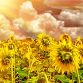 Sunflower field on sunset  — Stock Photo