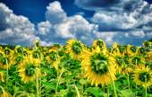 Fresh sunflower field — Stock Photo