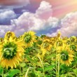 Beautiful sunflowers field in sunset — Stock Photo #53137149