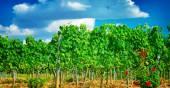 Beautiful vineyard in Europe — Stock Photo