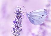 Gentle butterfly on lavender flower — Stock Photo