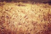 Beautiful wheat field background — Stock Photo