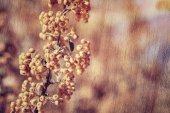 Rowanberry background — Stock Photo