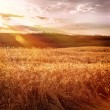 Beautiful autumn wheat field — Stock Photo #57551927