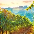 Beautiful grape field valley — Stock Photo #57552011
