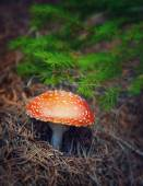 Amanita mushroom in autumn forest — Stock Photo