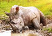 South African wild rhino — Stock Photo