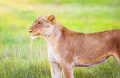 South African wild lioness — Stock Photo