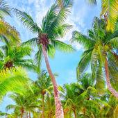Verse groene palm bomen achtergrond — Stockfoto