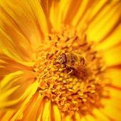 Beautiful little bee on a flower — Stock Photo